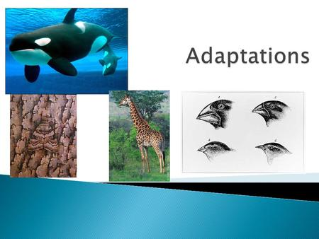 Adaptations  Individual organisms that appear more similar to one another than to the individuals of another, different species  Organisms that are.