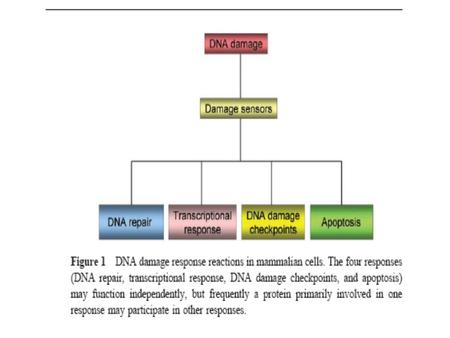 Cellular response to DNA damage Reponse Mechanisms Tolerance of DNA damage Replicative bypass of template damage Translesion DNA synthesis Reversal.