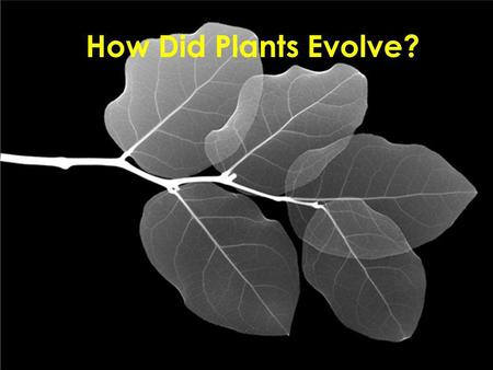 How Did Plants Evolve?. Scientists believe that plants evolved from an ancestor of green algae (a member of Kingdom Protista). These early plants were.