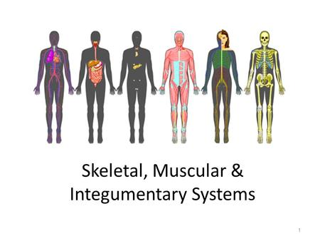 Skeletal, Muscular & Integumentary Systems 1. Skeletal System 2 FUNCTIONS: Supports the body Protects internal organs Provides for movement – levers act.