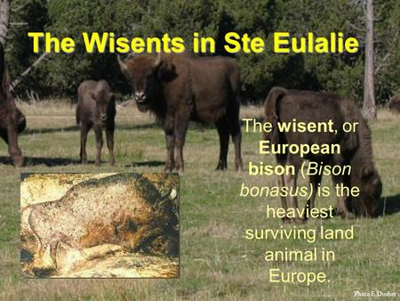The Wisents in Ste Eulalie The wisent, or European bison (Bison bonasus) is the heaviest surviving land animal in Europe. Photo E.Dusher.