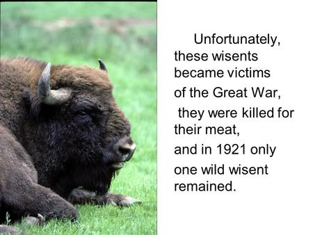 Unfortunately, these wisents became victims of the Great War, they were killed for their meat, and in 1921 only one wild wisent remained. Photo E.Dusher.
