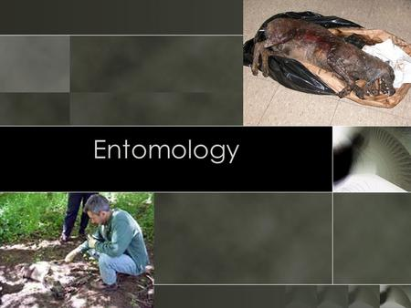Entomology. Introduction o Entomology is the study of insects o Forensic entomology is the study of the insects associated with a dead body o Also known.