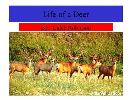 Life of a Deer By: Caleb Robinson. Short lives The life of a deer is short. If they are lucky, they will live to be 7 or 8 years old. They are first a.