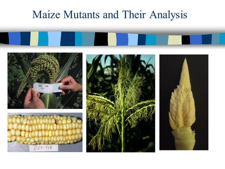 Maize Mutants and Their Analysis. Generating Mutants; Forward Genetics n 1. Generating your own mutants –EMS –Gamma/X-rays –Transposon Tagging n 2. Public.