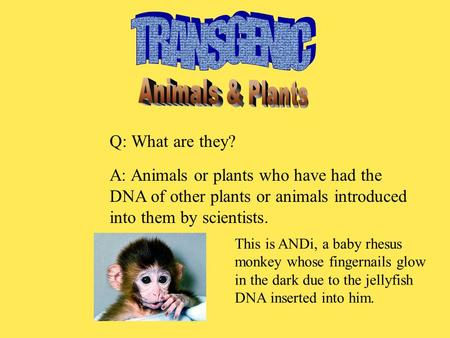 Q: What are they? A: Animals or plants who have had the DNA of other plants or animals introduced into them by scientists. This is ANDi, a baby rhesus.