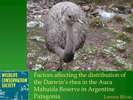 Lorena Rivas Factors affecting the distribution of the Darwins rhea in the Auca Mahuida Reserve in Argentine Patagonia.