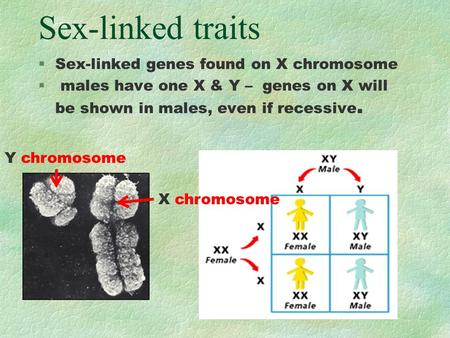 Sex-linked traits §Sex-linked genes found on X chromosome § males have one X & Y – genes on X will be shown in males, even if recessive. Y chromosome X.