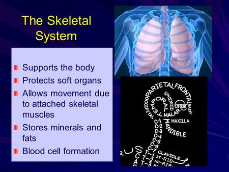 The Skeletal System Supports the body Protects soft organs Allows movement due to attached skeletal muscles Stores minerals and fats Blood cell formation.