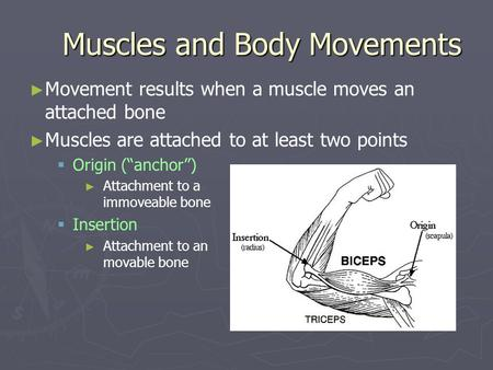 Muscles and Body Movements Movement results when a muscle moves an attached bone Muscles are attached to at least two points Origin (anchor) Attachment.