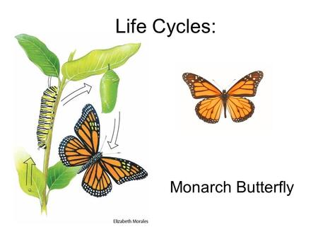 Life Cycles: Monarch Butterfly. Those black and orange wings that you see fluttering over a field belong to the monarch butterfly. Metamorphosis for the.