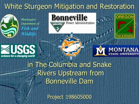 White Sturgeon Mitigation and Restoration in The Columbia and Snake Rivers Upstream from Bonneville Dam Project 198605000 Washington Department of Fish.