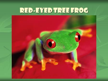 Red-eyed Tree Frog. Red-Eyed Tree Frogs are amphibians (animals that spend part of their lives under water and the remainder on land). These little frogs.