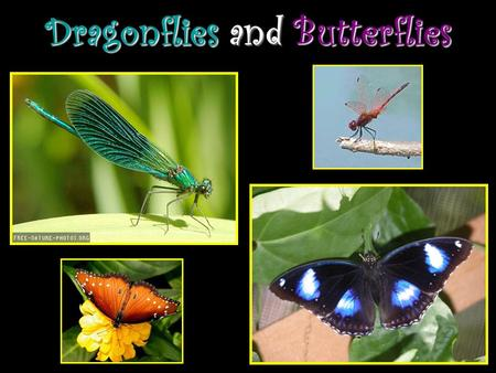 Dragonflies and Butterflies. A Dragonflys Life An Adult Dragonfly: Has 2 sets of wings. Has a head, body, and long tail. Is made of organic shapes (made.