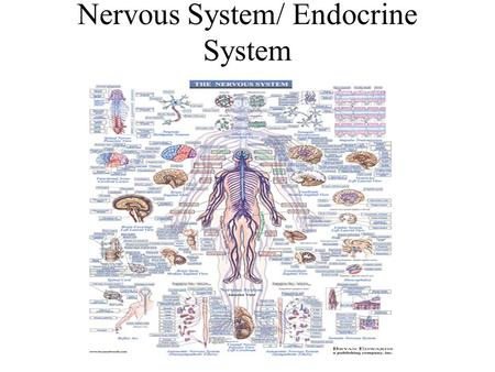 Nervous System/ Endocrine System. Nervous System Nervous system: The system of cells, tissues and organs that regulates the body's responses to internal.