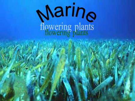 Marine flowering plants.
