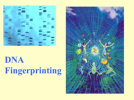 DNA Fingerprinting. DNA Extraction: DNA can be extracted from almost any human tissue. Buccal cells from inside cheek for paternity tests. Sources of.