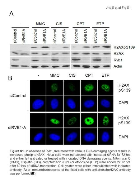 Figure S1. In absence of Rvb1, treatment with various DNA damaging agents results in increased phosphoH2AX. HeLa cells were transfected with indicated.
