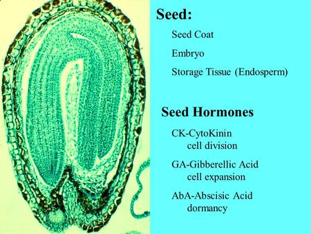 Seed: Seed Hormones Seed Coat Embryo Storage Tissue (Endosperm)