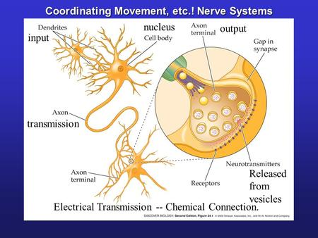 Coordinating Movement, etc.! Nerve Systems Electrical Transmission -- Chemical Connection. Released from vesicles input nucleus transmission output.