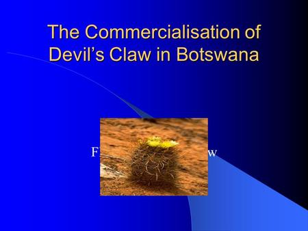 The Commercialisation of Devils Claw in Botswana Flowering devils claw.