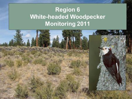Region 6 White-headed Woodpecker Monitoring 2011.