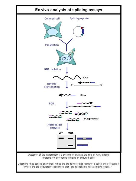 Reverse Transcription Ex vivo analysis of splicing assays