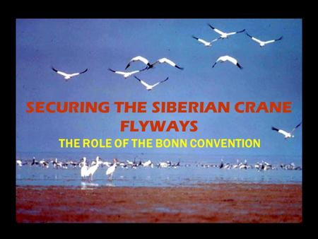 SECURING THE SIBERIAN CRANE FLYWAYS THE ROLE OF THE BONN CONVENTION.