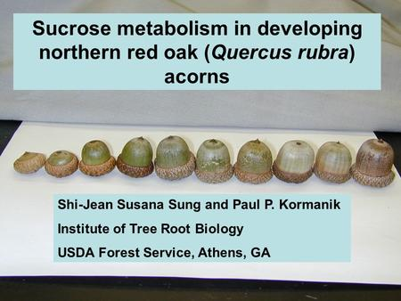 Sucrose metabolism in developing northern red oak (Quercus rubra) acorns Shi-Jean Susana Sung and Paul P. Kormanik Institute of Tree Root Biology USDA.
