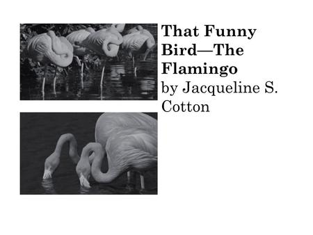 That Funny BirdThe Flamingo by Jacqueline S. Cotton.