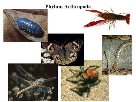 Phylum Arthropoda. Several million species. Hard exoskeleton.