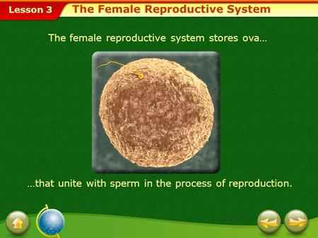 Lesson 3 The female reproductive system stores ova… …that unite with sperm in the process of reproduction. The Female Reproductive System.