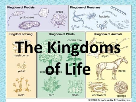 The Kingdoms of Life. Kingdom Monera Bacteria and the cyanobacteria (blue-green algae). Single-celled organisms Prokaryotic (no nucleus) – single chromosome.