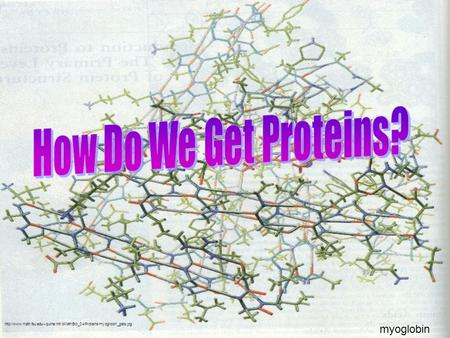 How Do We Get Proteins? myoglobin