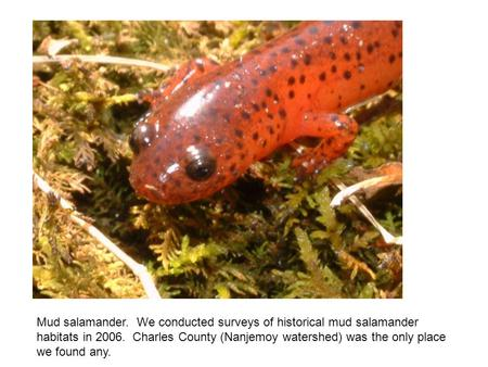 Mud salamander. We conducted surveys of historical mud salamander habitats in 2006. Charles County (Nanjemoy watershed) was the only place we found any.