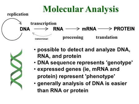 Replication transcription processingtranslation Molecular Analysis possible to detect and analyze DNA, RNA, and protein DNA sequence represents 'genotype'