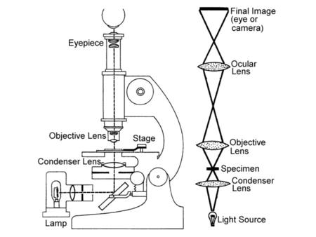 Adjusting a Microscope 1Center components on optic axis 2Focus objective 3Focus condenser 4Adjust illumination lamp voltage (intensity) iris diaphragm.