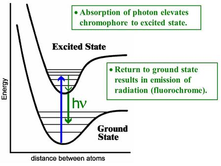 Return to ground state results in emission of radiation (fluorochrome). Absorption of photon elevates chromophore to excited state.