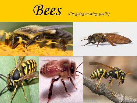 Bees ( Im going to sting you!!!). Most people have always asked themselves, what importance does bees have on the environment, what uses do they have,