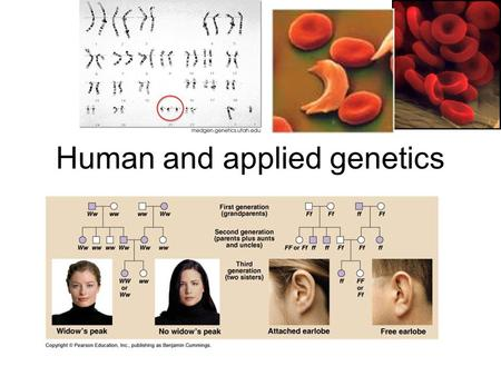 Human and applied genetics. Section 1 Vocabulary: 1. Carrier: an individual that is heterozygous for a recessive disorder 2. Pedigree: a diagram that.