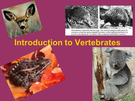 Introduction to Vertebrates. Vertebrate Vocabulary Chapters 32 -35 1.Chordate 2.vertebrate 3.vertebra (712) 4.agnathan (714) 5.ectothermic (724) 6.endothermic.
