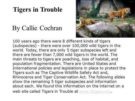 Tigers in Trouble By Callie Cochran 100 years ago there were 8 different kinds of tigers (subspecies) - there were over 100,000 wild tigers in the world.
