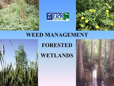 WEED MANAGEMENT FORESTED WETLANDS. Weed Problems Early successional – let nature take its course Florida Institute of Phosphate Research Invasive, persistent.