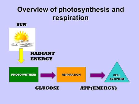 Overview of photosynthesis and respiration PHOTOSYNTHESIS CELLACTIVITIES RESPIRATION SUN RADIANT ENERGY GLUCOSEATP(ENERGY)