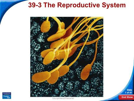 End Show Slide 1 of 41 Copyright Pearson Prentice Hall 39-3 The Reproductive System.