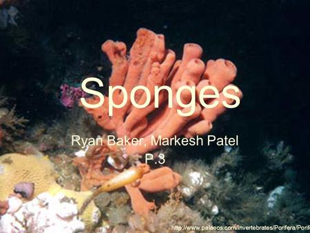 Sponges Ryan Baker, Markesh Patel P.3