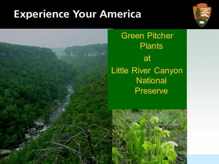 Green Pitcher Plants at Little River Canyon National Preserve.