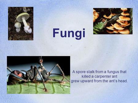 Fungi A spore stalk from a fungus that killed a carpenter ant