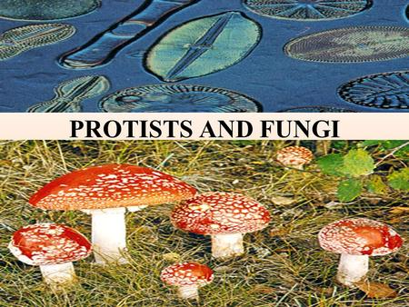 PROTISTS AND FUNGI. Commonalities / Differences in the Protist Kingdom All are eukaryotes (cells with nuclei). Live in moist surroundings. Unicellular.