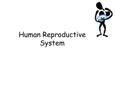 Human Reproductive System. Male Reproductive System.